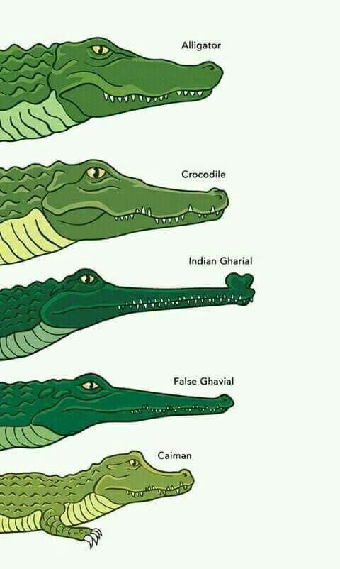 Identifying alligators, crocodiles, and their cousins.   Animals ...