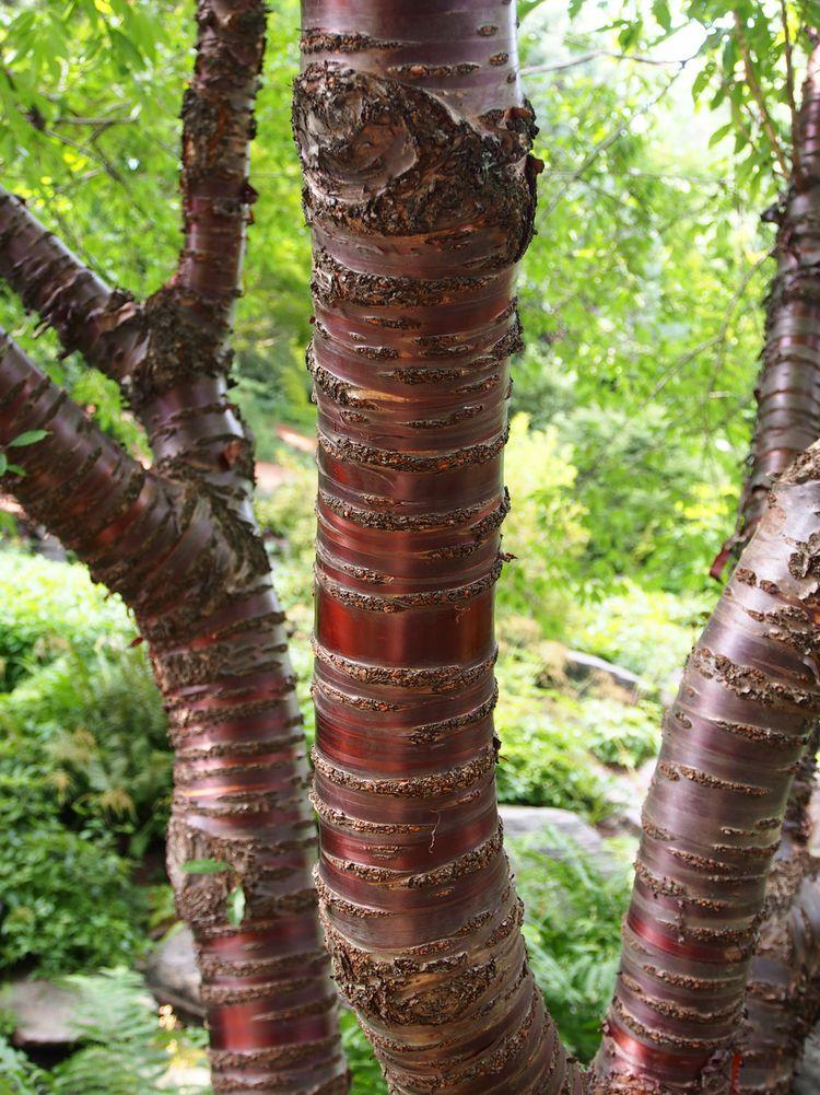 Metallic Trees Nummynims Lilac Tree Tree Identification Weird Plants