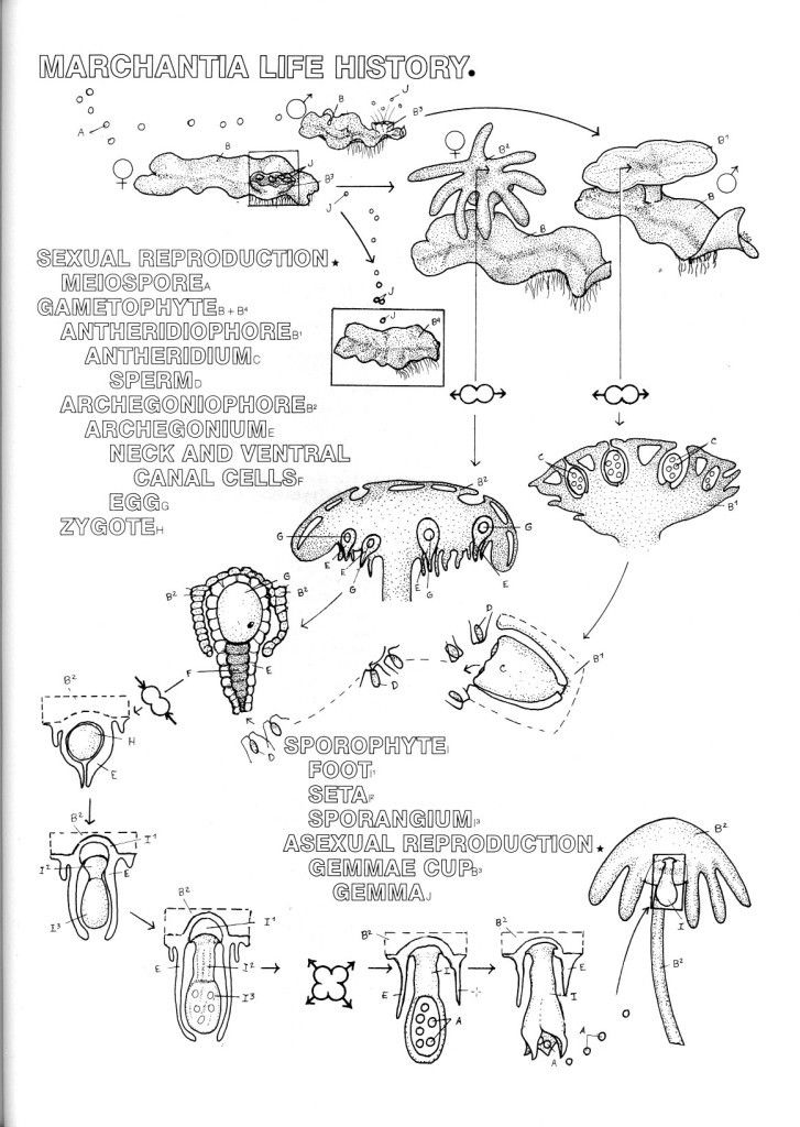 Marchantia asexual reproduction worksheet