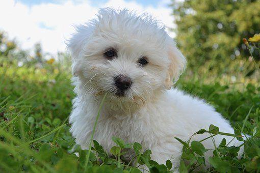 Dog Puppy Cotton Tulear Petit Fluffy Dog Breeds Fluffy Dogs