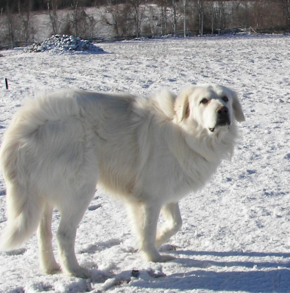 Lost Dog Maremma Sheepdog Rr Losing A Dog Maremma Sheepdog