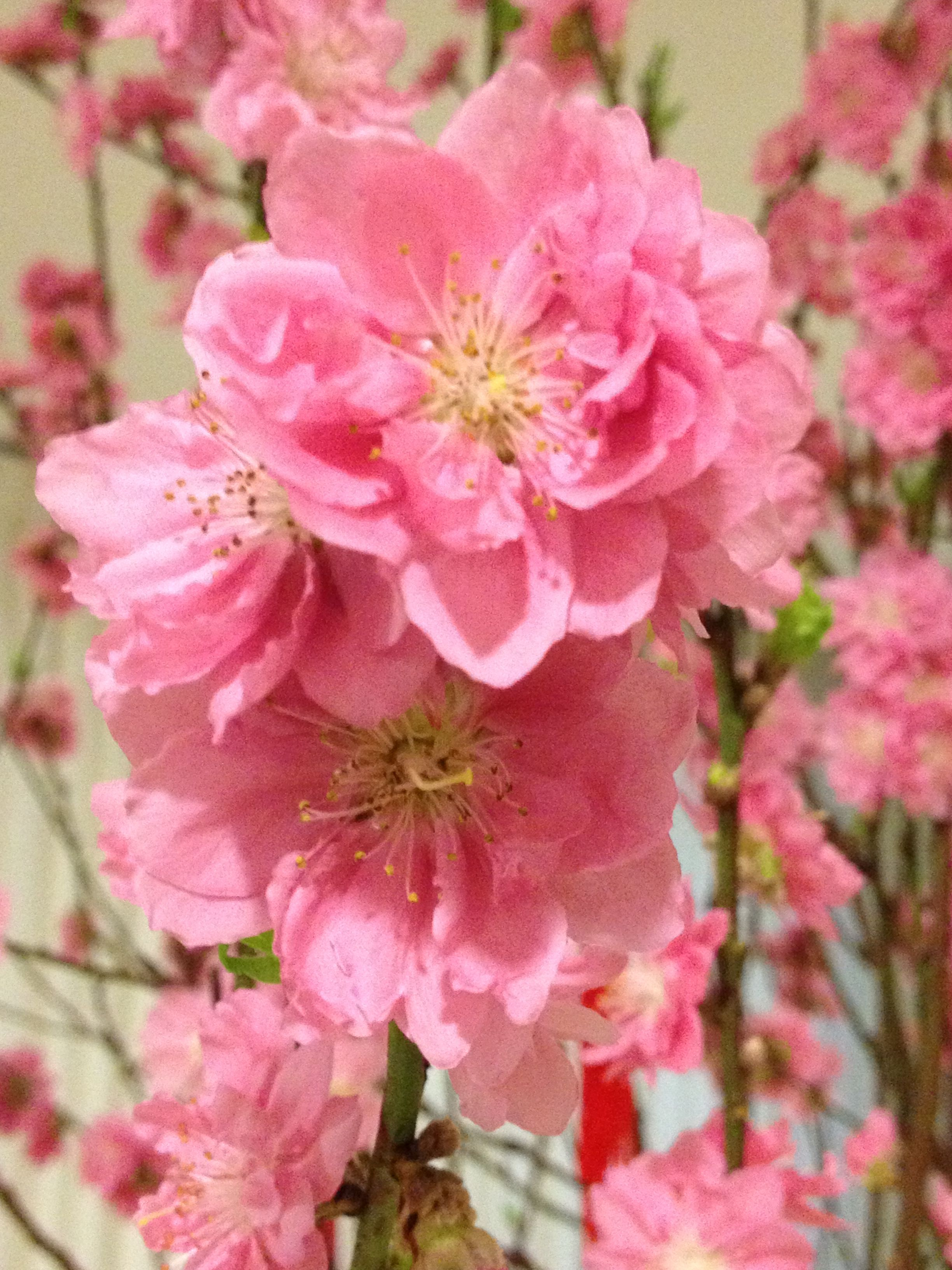 Pink Cherry Blossoms Mean Their Arrival At Festivals Throughout The Country Other Cultures Such As The Japanese Believe Cherry Blossoms Represent Beaut Krasota