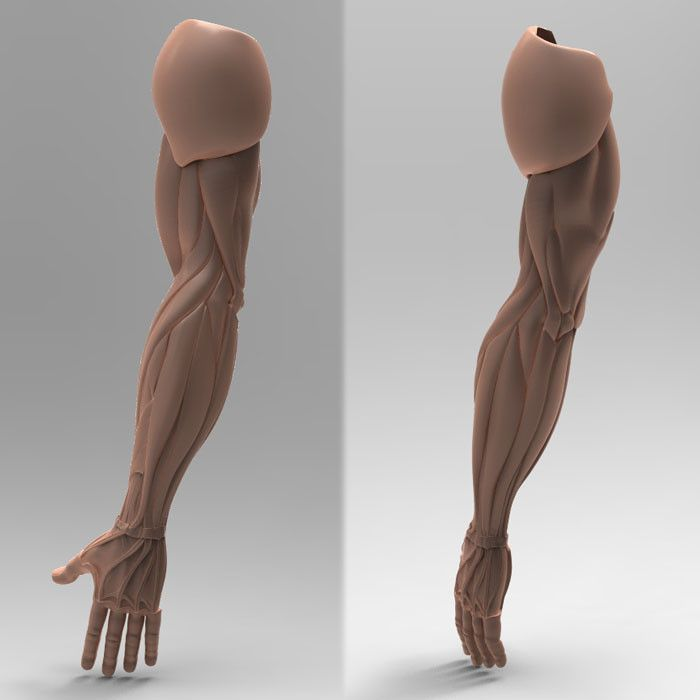 3d human arm anatomy | arms | pinterest | arm anatomy, anatomy and, Human Body