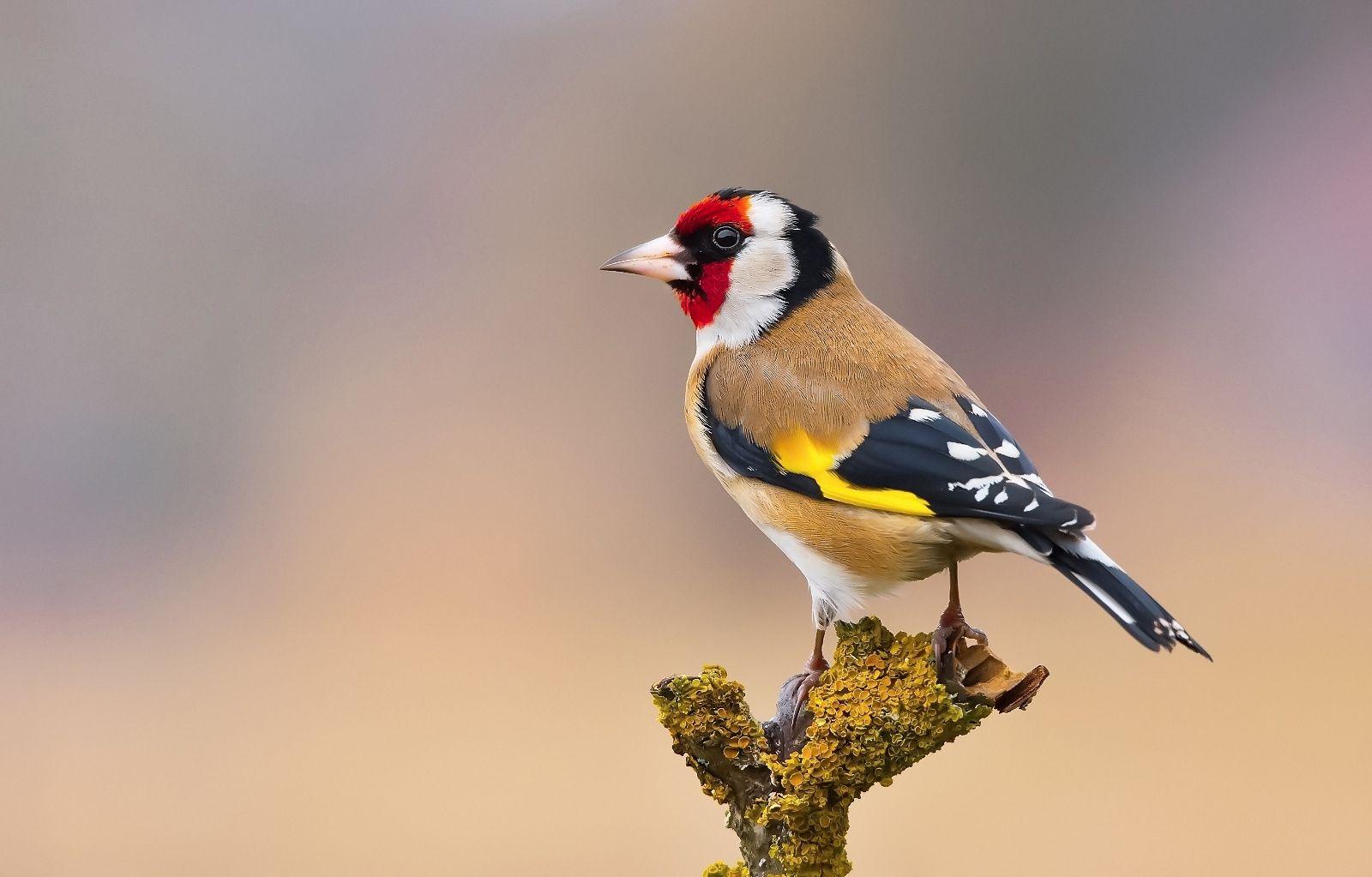Goldfinch - wildlife...