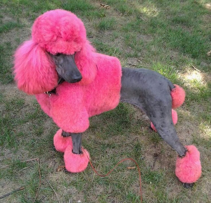 Poodles Smart Active And Proud Dog Grooming Creative Grooming