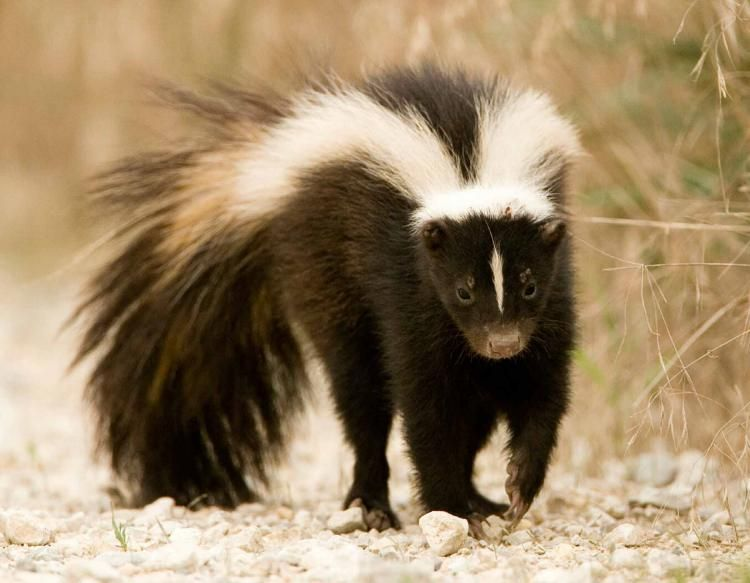 These wildlife animals do not hibernate, and therefore