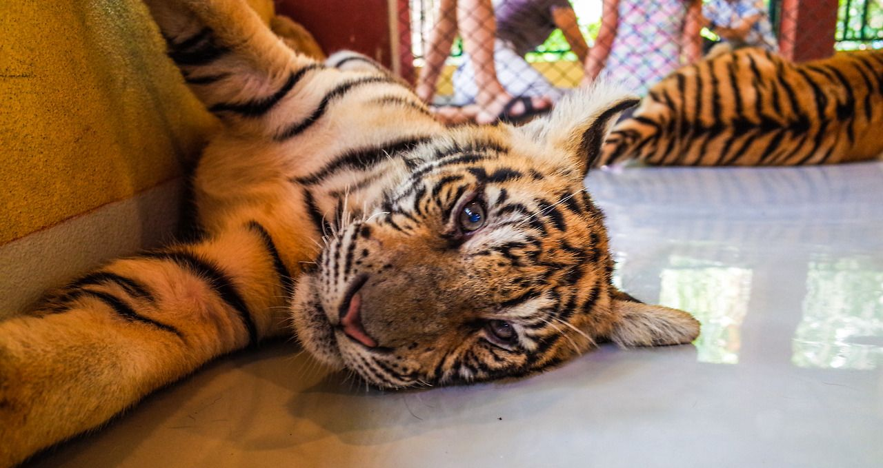 Tiger Kingdom, Chiang Mai. Any place that offers the once