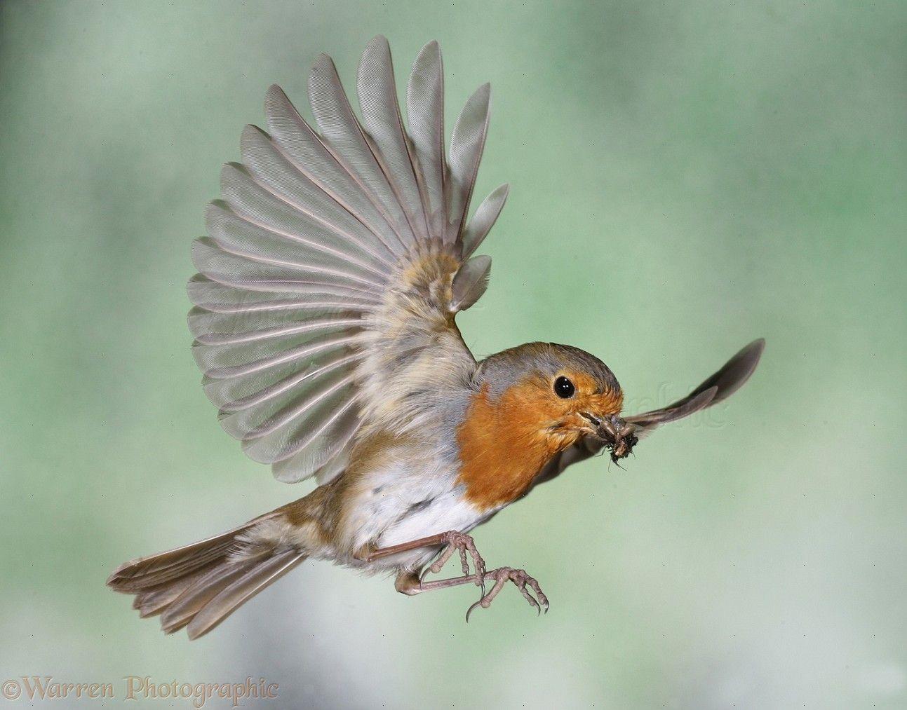 american robin bird flying - photo #32