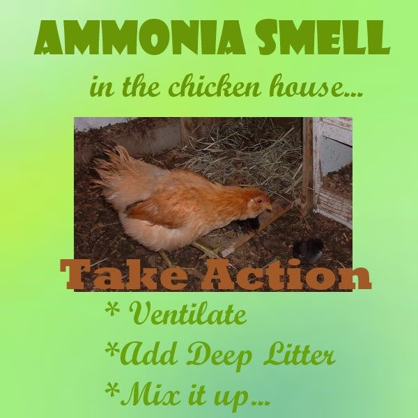 Ammonia Smell in the Chicken House    act immediately for