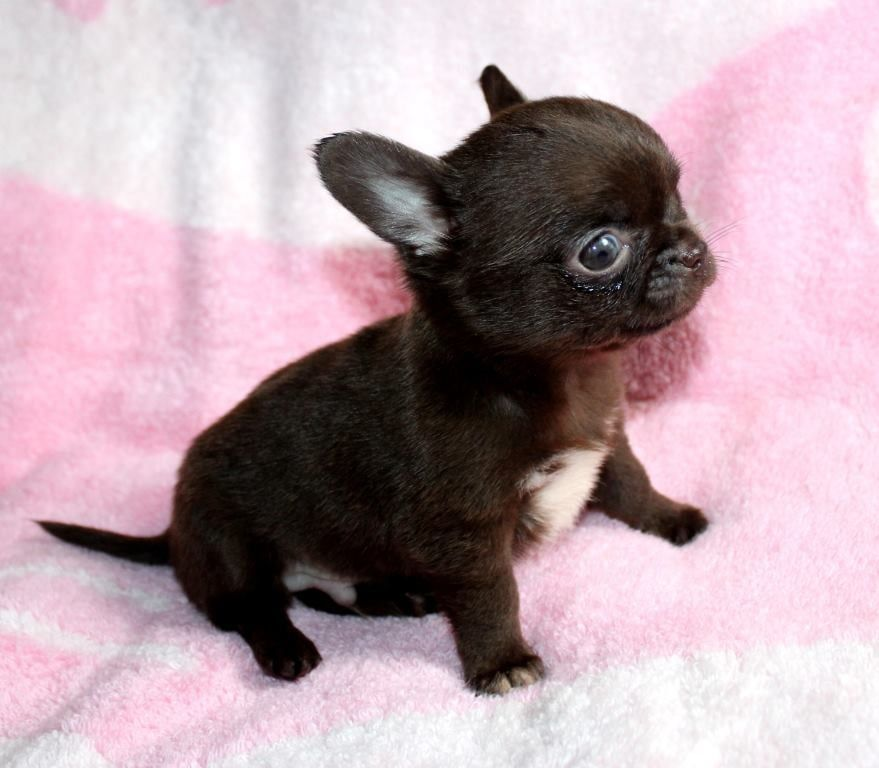 Chihuahua Puppies For Sale Chihuahua Puppies For Sale Puppies