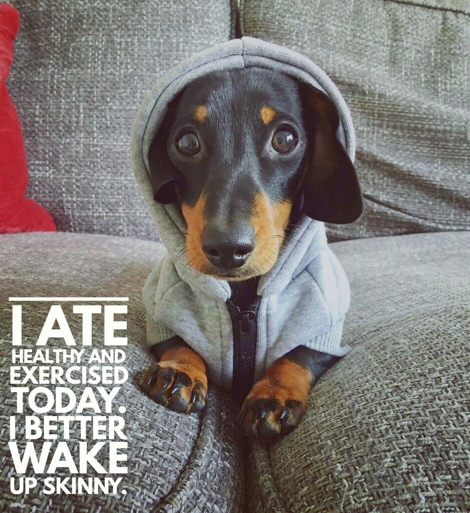 Daily Dachshund Quotes Dachshund Quotes Funny Dachshund