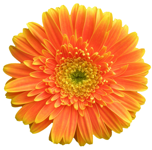 An Entry From Transparent Flowers Powered By Tumblr Com Transparent Flowers Cartoon Flowers Gerbera Jamesonii