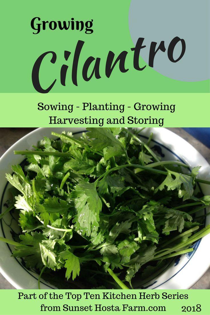 Growing cilantro herbs kitchen herbs types of herbs