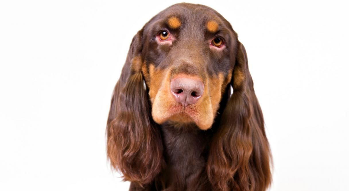 Field Spaniel Dog Breed Information Field spaniel, Dog