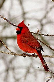 Northern Cardinal | by Frances Maas