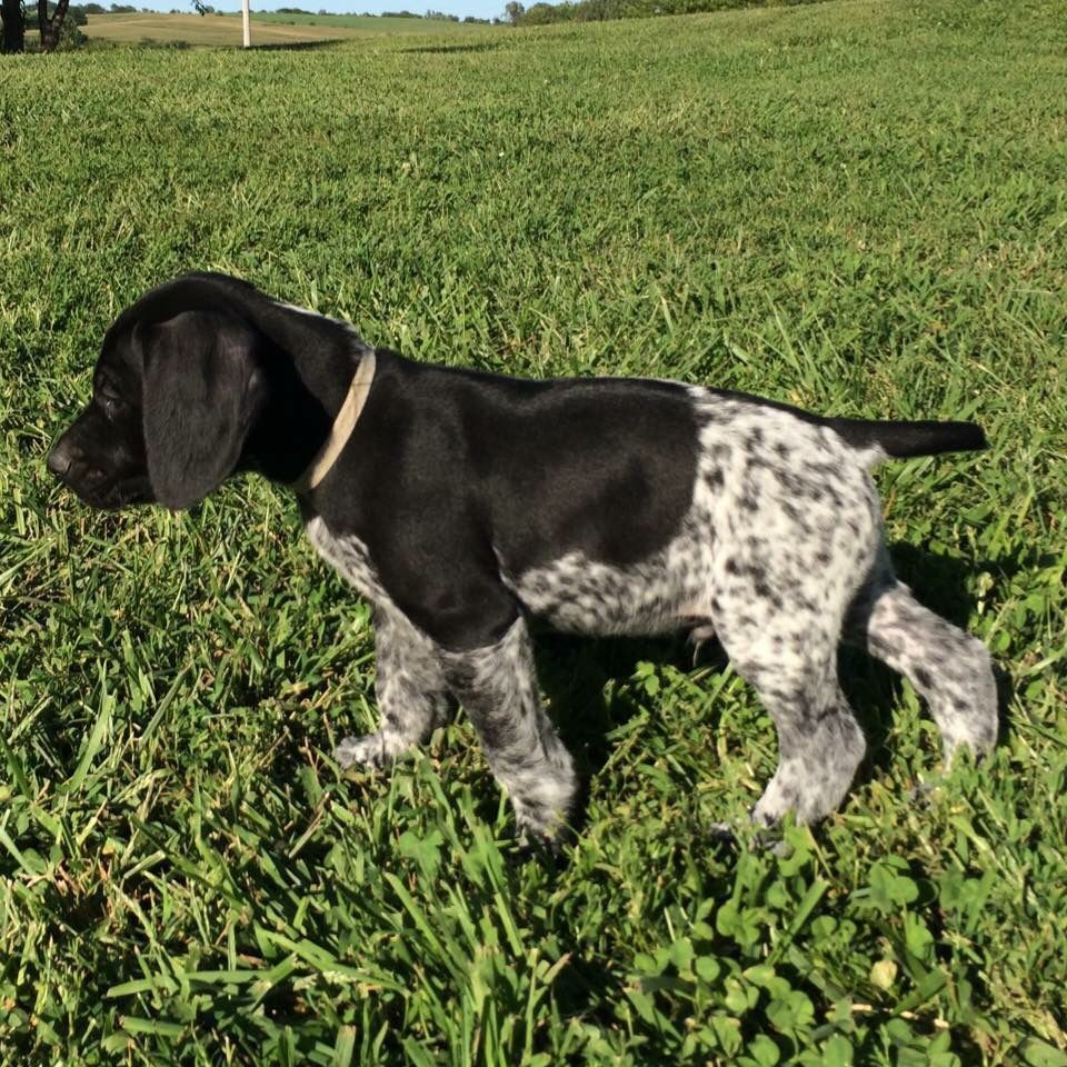 German Shorthaired Pointer Pup Classic Look 6 weeks