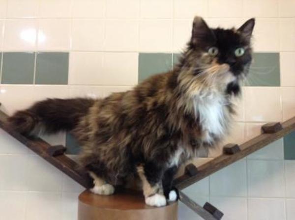 Domestic Long Hair Domestic Short Hair Cat For Adoption In Cedar Hill Kitten Adoption Cat Adoption Cats