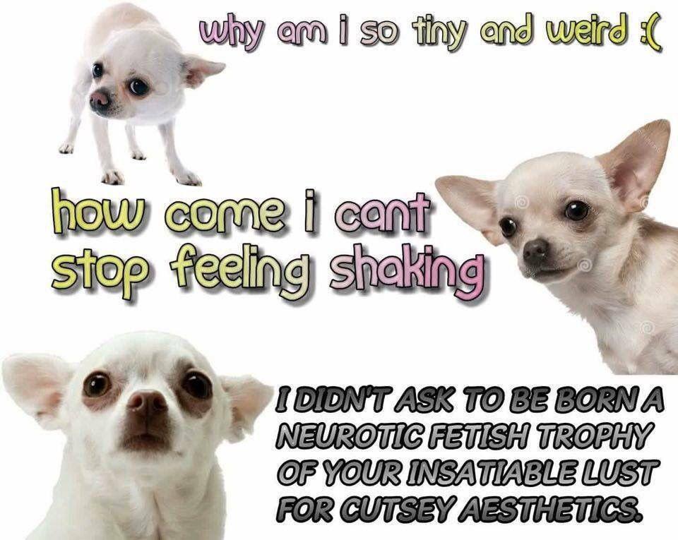 Chihuahua meme neurotic dog | Dogs, Dog barking, Funny ...