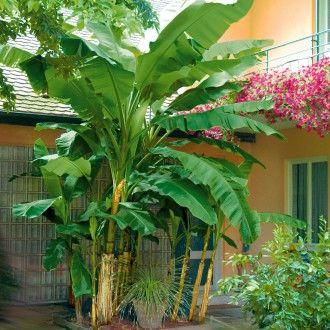 Winterharte Bananenstaude Musa Stauden Exotische Pflanzen Bananenstaude