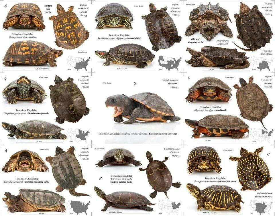 Pet turtle care musk box habitat also topper above tank basking platform  dock turtles rh pinterest