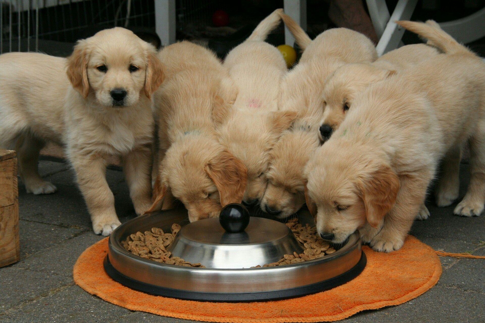 Golden Retriever Puppy Eating A Pupuchino Golden Retriever