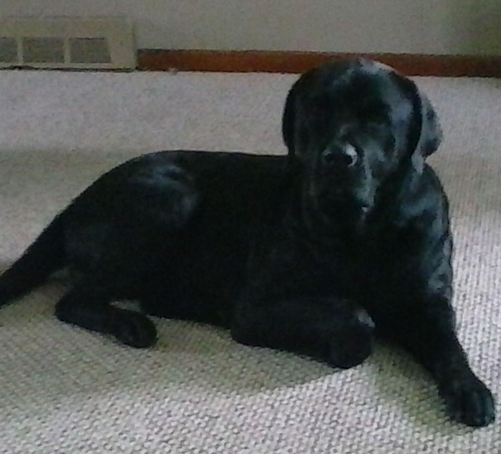 Lost Dog - Labrador Retriever - Monroeville, OH, United States 44847