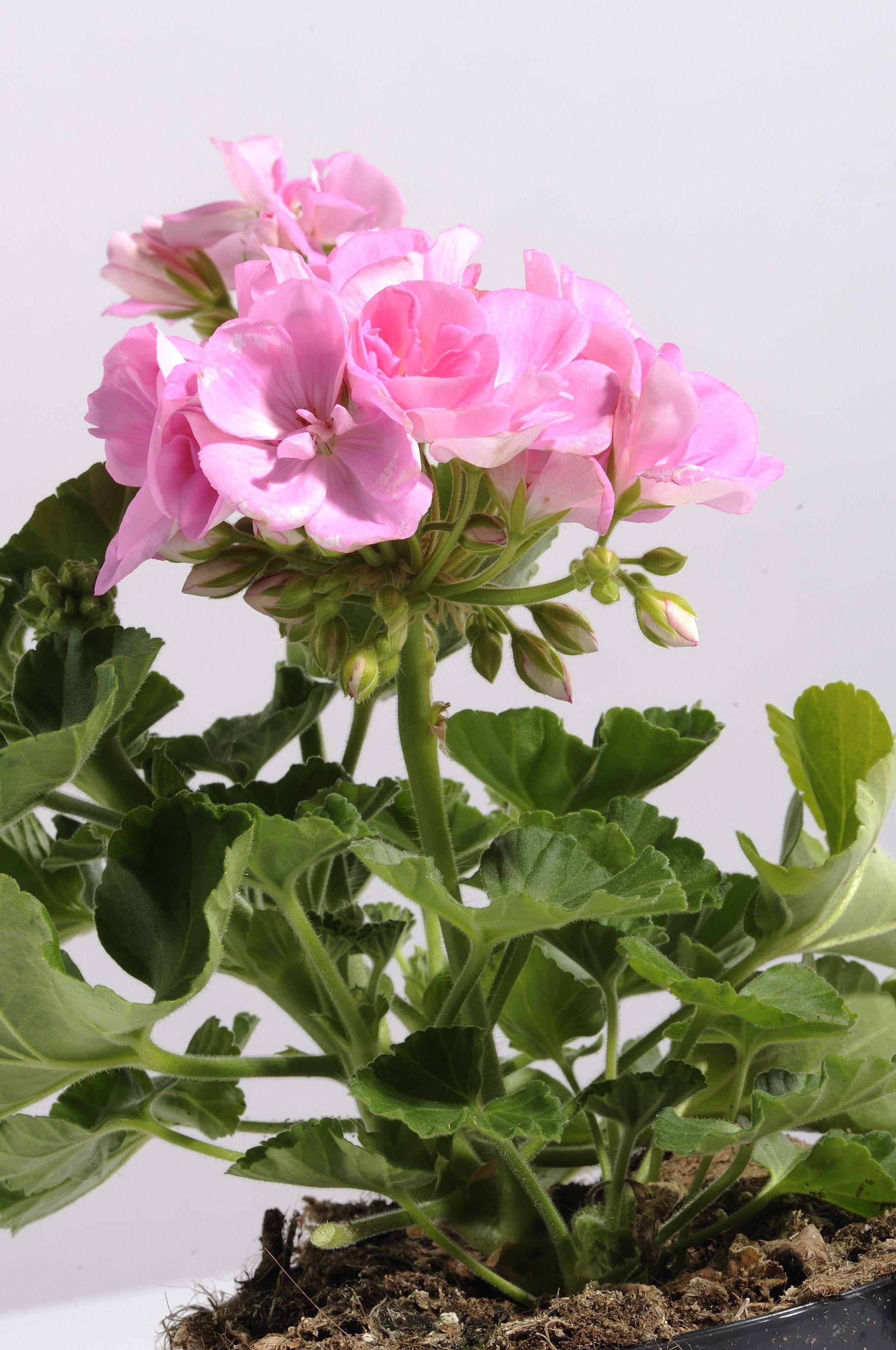Geranio Zonale Geranium Pink Flower Flowers Plant Per Scoprirne