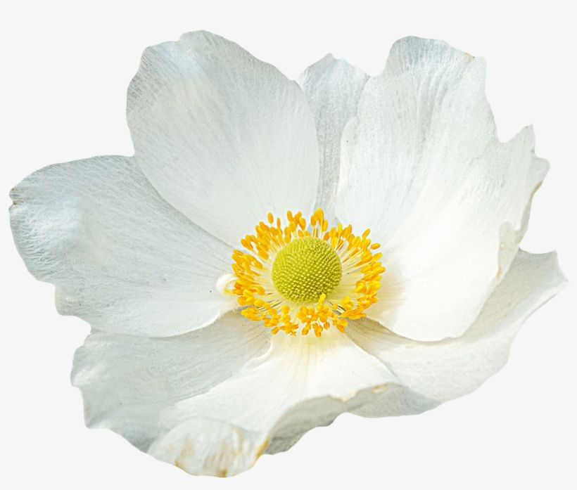 White Flower White Flower Png White Flowers List Of Flowers