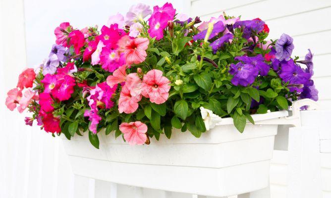 Plantas De Temporada Para Terraza Y Balcón Flores Y