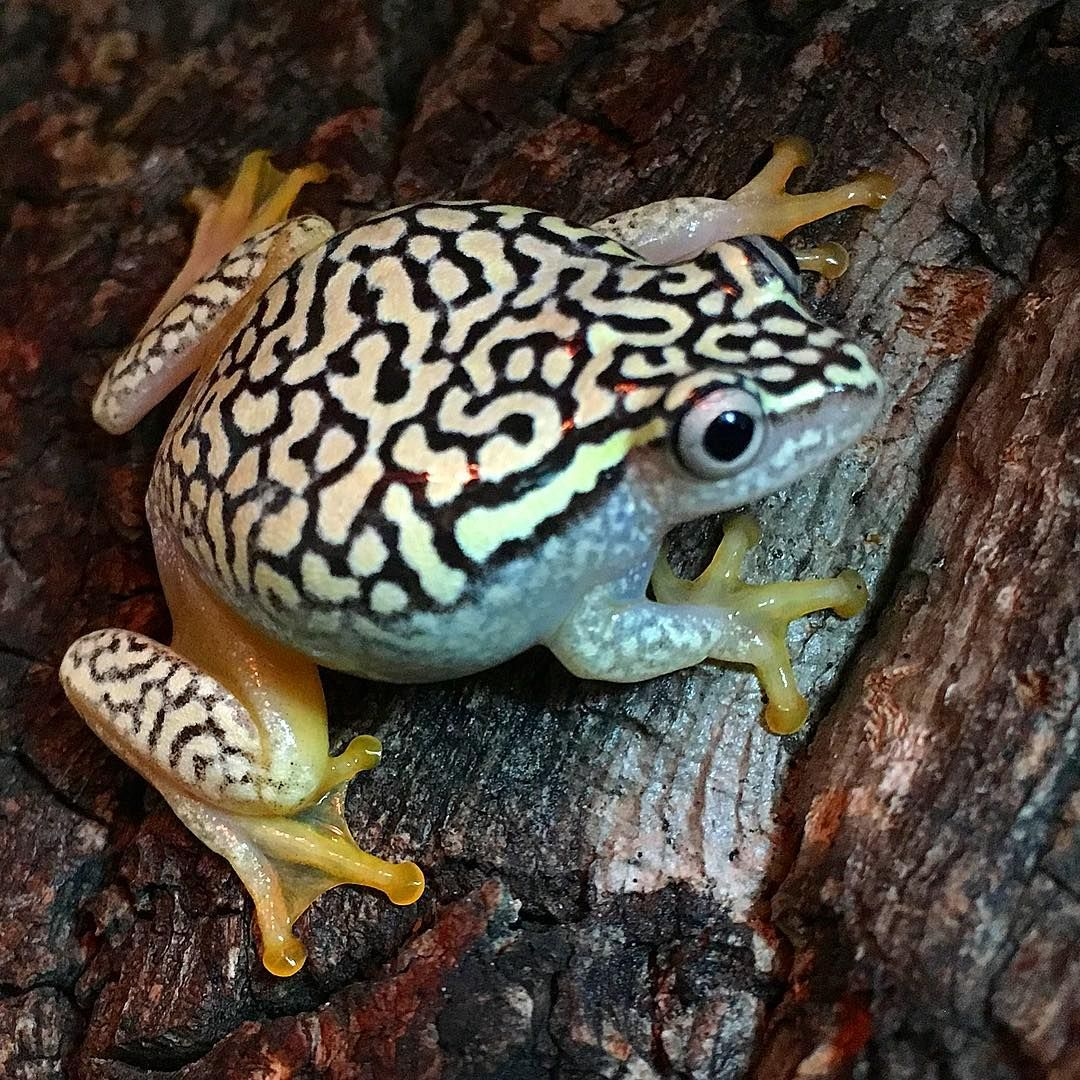 Amazing Frog: Starry Night Reed Frog, An Amazing Frog Originally From