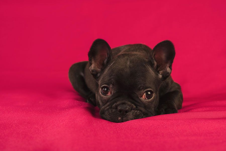 Lola un Cachorro de Bulldog Francés fotografiado en el estudio de Mira al pajarito.