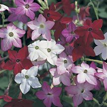 Perfume Mix Hybrid Nicotiana Nicotiana Annual Seeds Jung Garden And Flower Seed Company Scent Garden Plants Flower Seeds