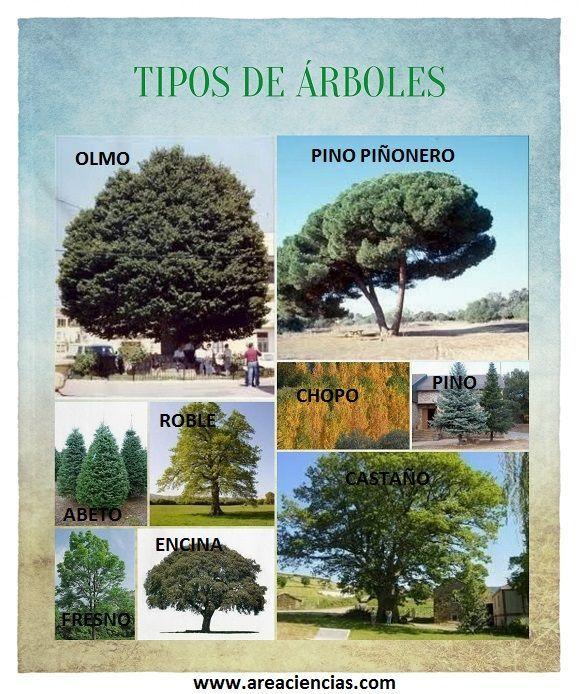 Resultado de imagen de tipos de arboles y sus nombres for Lista de arboles perennes