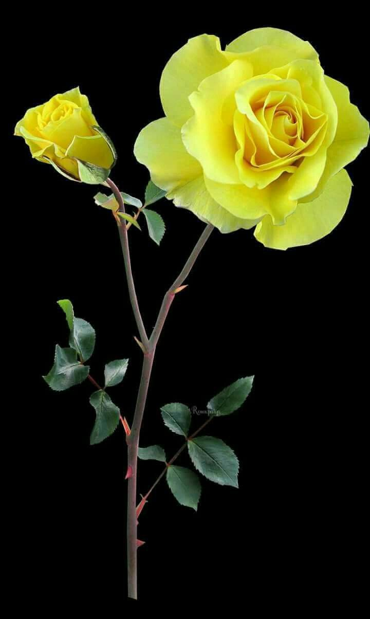 All about yellow flowers for your garden put a smile on your face all about yellow flowers for your garden put a smile on your face gller iekler ve iek mightylinksfo