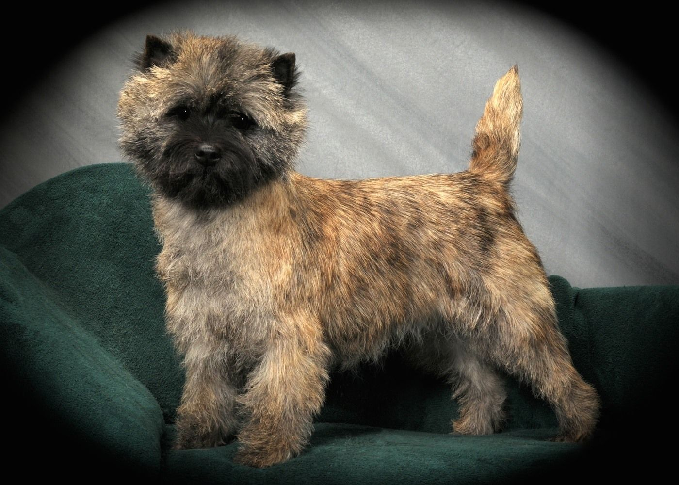 Meet The Cairn Terrier Cairn Terrier Club Of America Cairn