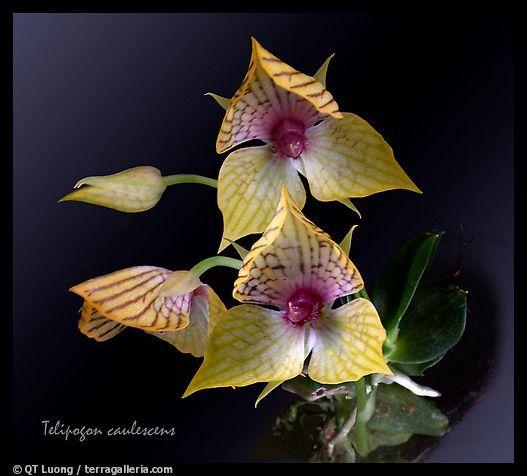 Telipogon caulescens