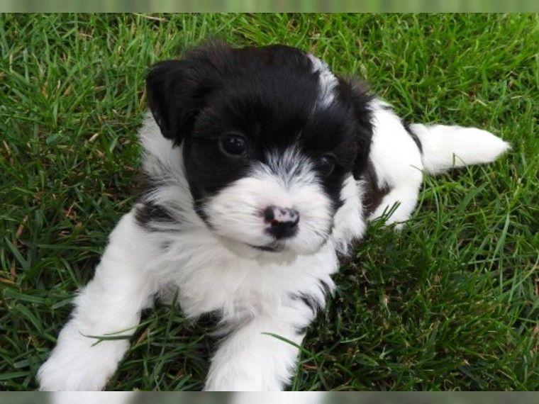 Havaneser Welpen Suchen Ein Gutes Zuhause 3 Deine Tierwelt De Havanese Dogs Havanese Animals