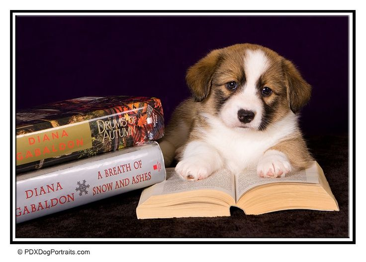 A bookish puppy cardigan welsh puppies puppies