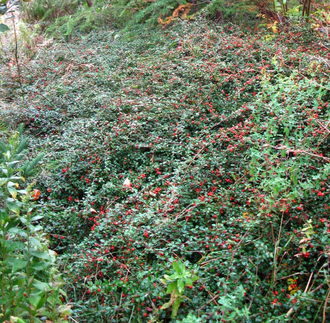 Evergreen shrub with pink or white flowers and dark berries home cotoneaster dammeri 39 coral beauty 39 a evergreen shrub with mightylinksfo Image collections