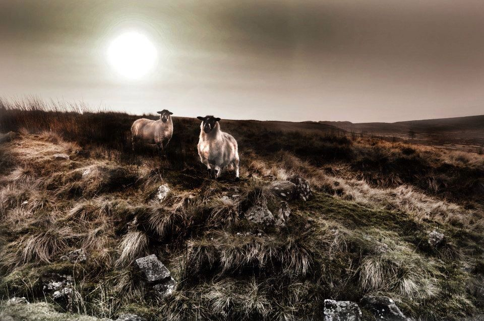 Sheep above Oxenhope