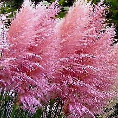200 pink pampas ornamental grass seeds under the sun for Perennial grasses red