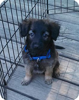 Fishers In Shepherd Unknown Type Mix Meet Filbert A Puppy For Adoption Http Www Adoptapet Com Pet 18471908 Fisher Puppy Adoption Kitten Adoption Pets