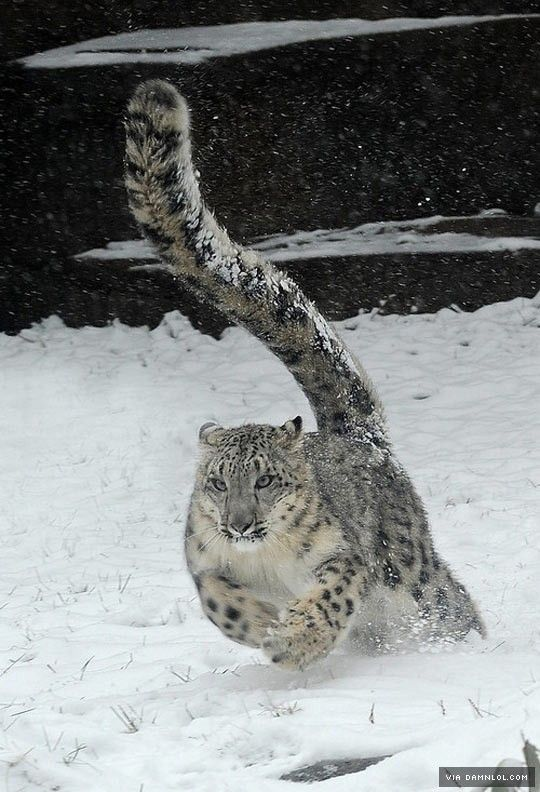 Snow Leopard Magnificence - The Best Funny Pictures