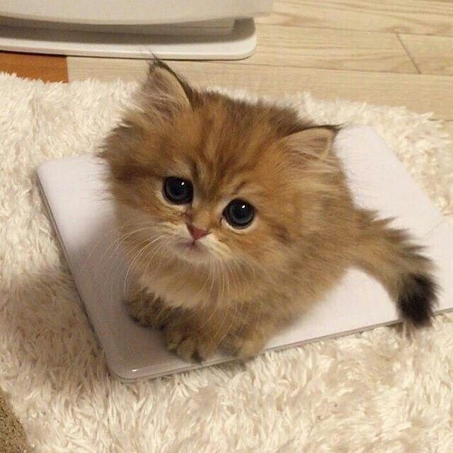 Cutie kitty Kittens cutest, Cutest kittens ever, Fluffy