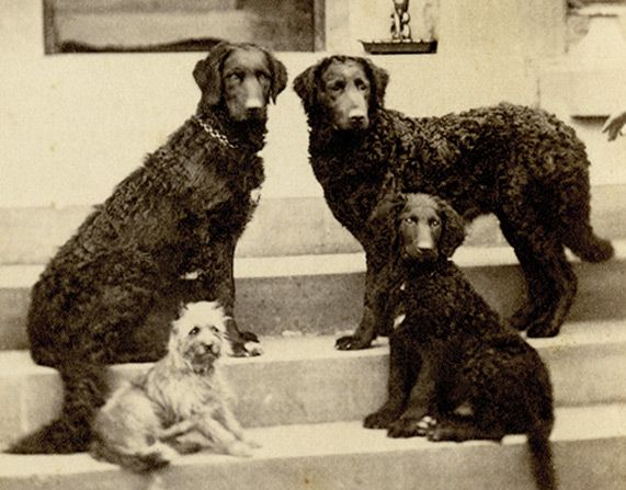 A Late 19th Early 20th Century Photo Of 3 Curly Coat Retrievers