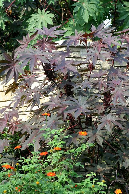 Castor Bean, Sanguineus By Powell Gardens, Kansas Cityu0027s Botanical Garden,  Via Flickr