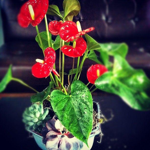 Anthurium + Succulents //