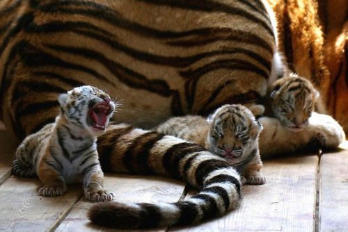Is that a roar or a yawn?