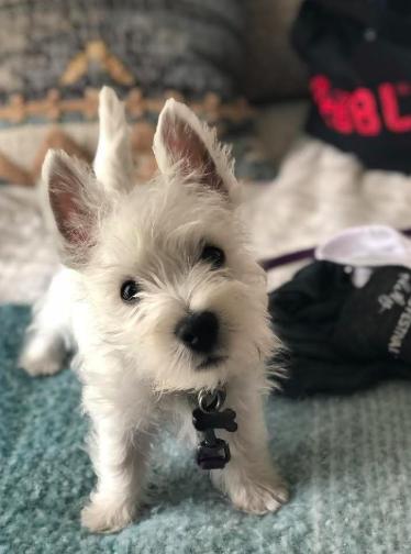 Good Breeder Beverly Walker Westie Dogs Westie Puppies White Terrier