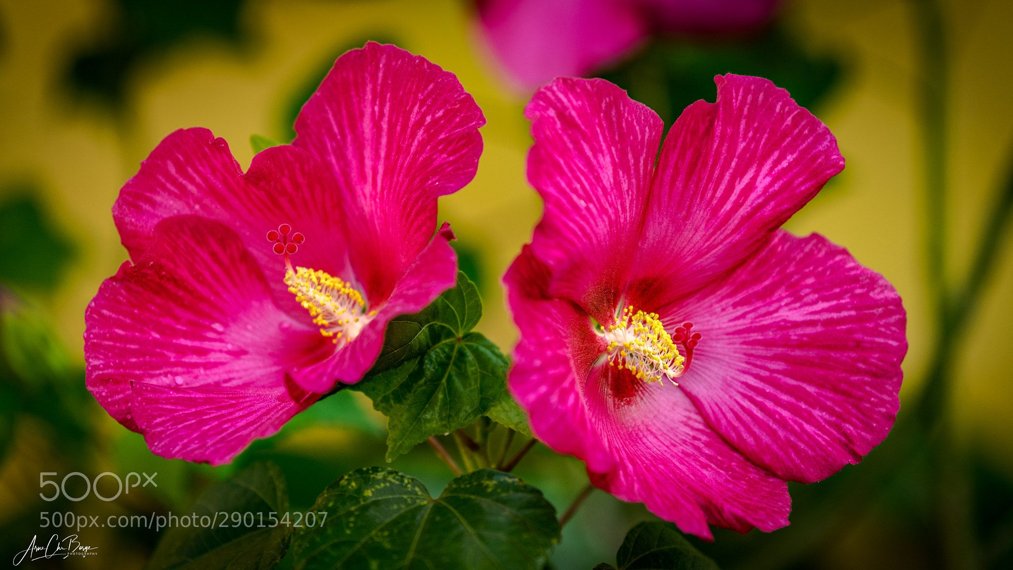 Red Hibiskus Hibiscus Flower Cha Ba Flower In Thailand A Tea Made From Hibiscus Flowers Is Known By Hibiscus Flowers Frequent Flyer Miles Hibiscus